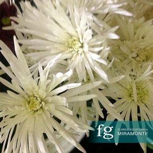 Flores de guatemala - mechudo especial
